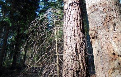 Изсичането на поразените от корояд дървета напредва