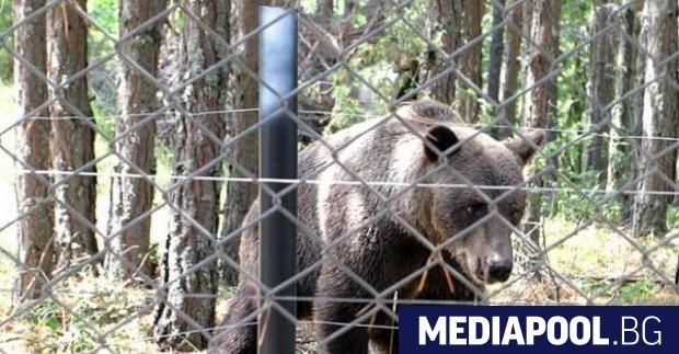 Снимка: За кратко избяга мечокът от зоокъта в Димитровград
