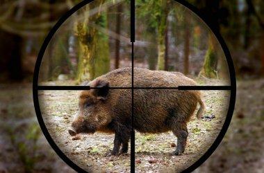Ловът на диви прасета се открива с ограничения заради чумата