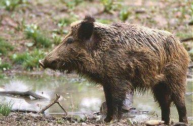Нов случай на африканска чума при дива свиня у нас