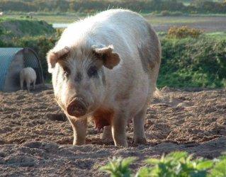 Открити са нови случаи на африканска чума при диви свине у нас