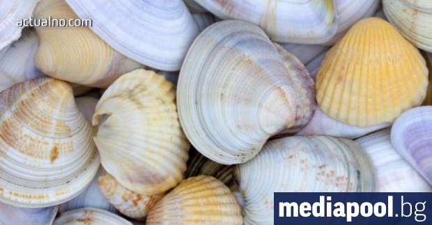 Забранява уловът на бели пясъчни миди в Черно море за