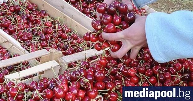 България има нереализиран потенциал за износ на череши, който се