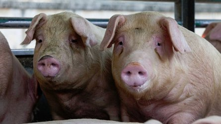 Нов случай на чума по свинете засегна най-малко 17 000 животни