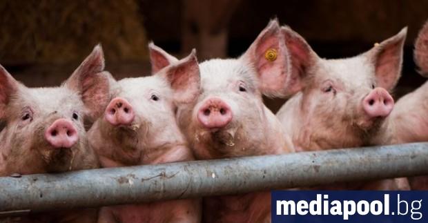 Пълна забрана за отглеждане на прасета в задния двор и