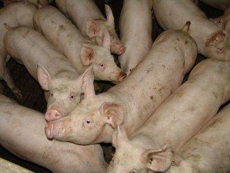 Китай може да загуби до 50 процента от свинете си заради африканската чума