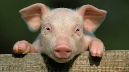 Резултат с изображение за прасе