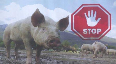 Глоби за кметовете, които не съдействат за умъртвяването на домашни прасета