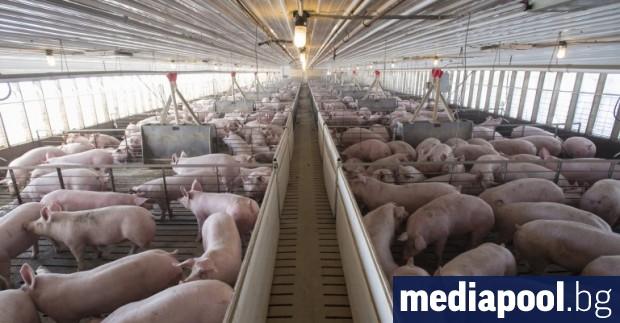 Осемдесет хиляди прасета от индустриалните ферми, в които са констатирани