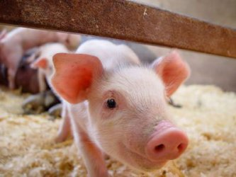 Чумата ликвидира една пета от свиневъдството у нас