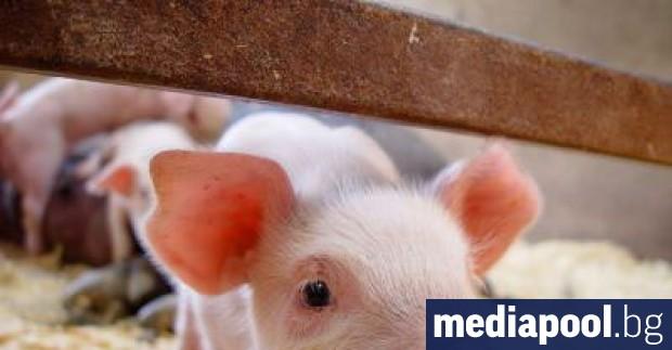 Африканската чума по свинете е ликвидирала една пета от сектор