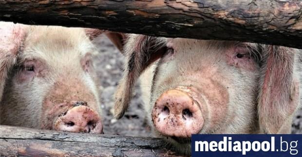 Снимка: По 300 лева за убити заради чумата прасета се изплащат от понеделник