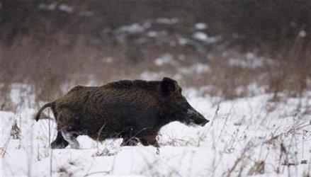 Има ново огнище на африканска чума по свинете в Родопите
