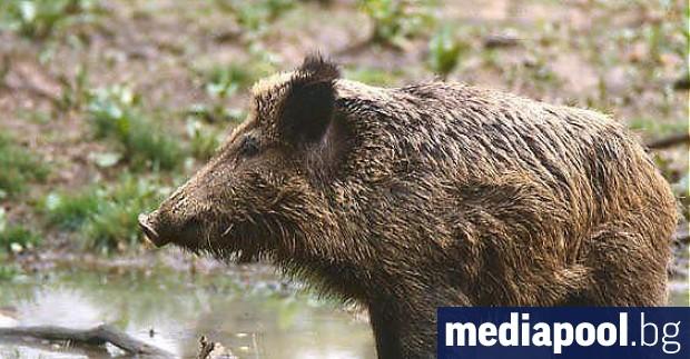Снимка: Първи случай на африканска чума по свинете е регистриран в Габровско