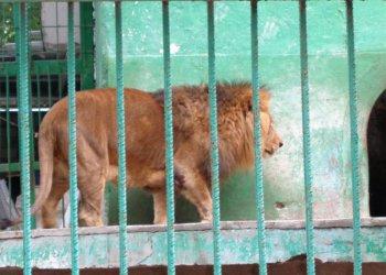 Окуцелият лъв Любо докара прокуратурата в зоокъта в Разград