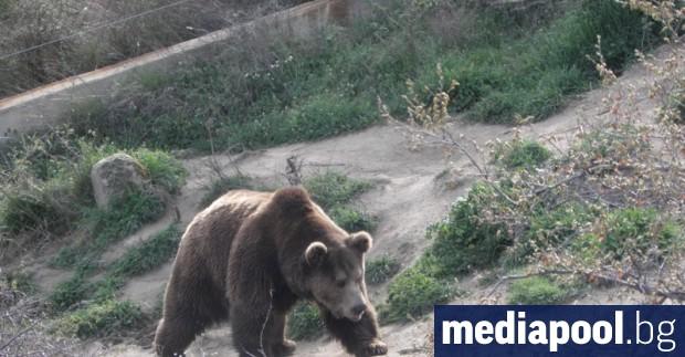 Мечка е нападнала и ранила ловец в Стара планина. 47-годишният