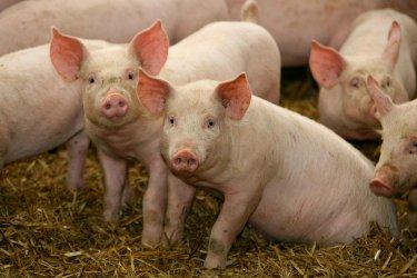 24 500 прасета ще бъдат умъртвени в с. Никола Козлево