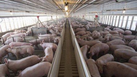 Африканската чума засегна свинекомплекс и във Варненско