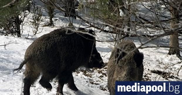 До 16 февруари се удължава груповият лов на дива свиня,