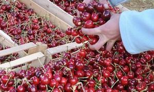 Държавата подпомага с 1 млн. лв. преработвателите на български череши