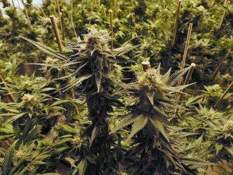 Полицията откри оранжерия с марихуана в пазарджишко село