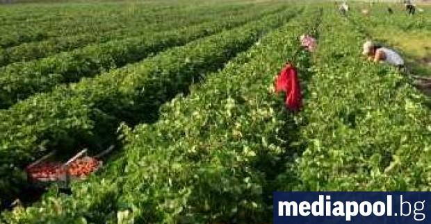 Безработните, които сключат трудов договор за краткотрайна сезонна селскостопанска работа,