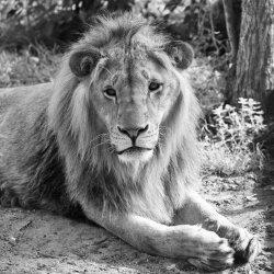 Лъвчето Масуд почина след тежко влошаване на здравето