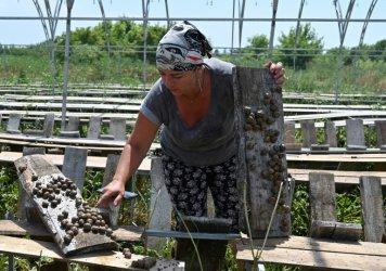 Коронакризата удари охлювната индустрия на Украйна