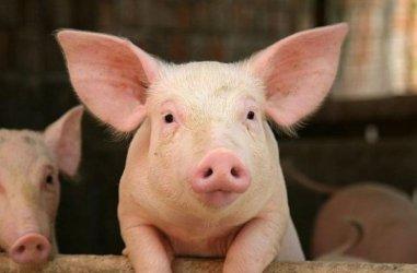 Кабинетът даде 11.6 млн. лв. за обезщетения и мерки срещу чумата по свинете