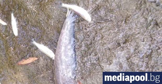 Десетки, дори стотици килограми умряла риба се носи по река