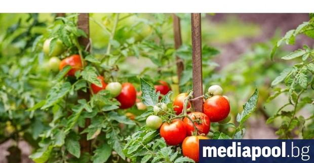 Българските производители, отглеждащи зеленчуци в оранжерии, ще получат най-високо стартово