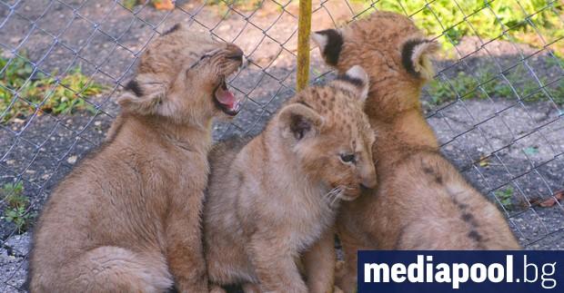 Днес е Световен ден на лъва, който се отбелязва от