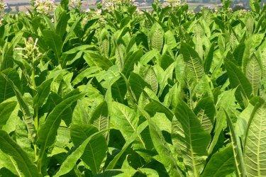 Държавата дава нови 71 млн. лв. за отказване на фермери от тютюна