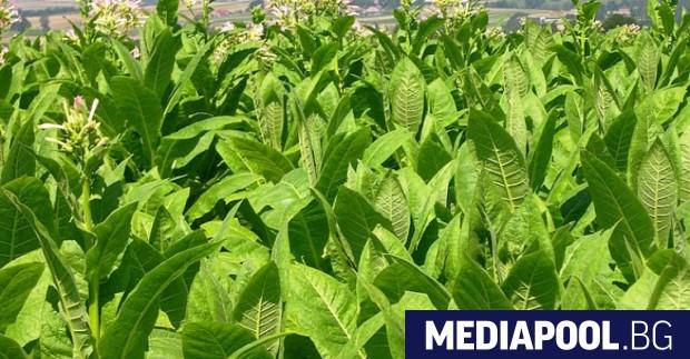 Близо 40 000 тютюнопроизводители за поредна година получиха десетки милиони
