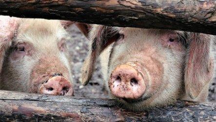 Възобновяват се свиневъдството и търговията в пет области на страната