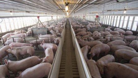 Напълно падна забраната за износ на български свинекомплекси заради чумата