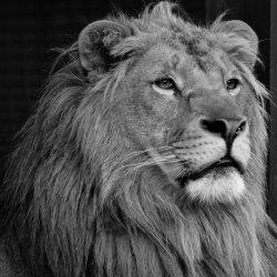 Край на историята за двата лъва братя от Разград. Отиде си и Терез