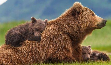 След инцидента в Белица експерти предлагат помощ за прогонване на проблемната мечка вместо отстрела й