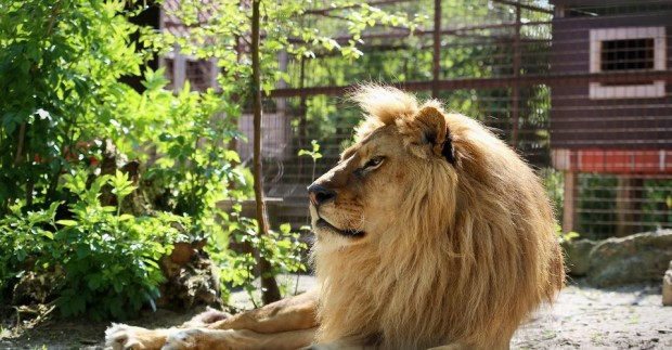 Разградският лъв Иван Асен, който през 2018 г. бе настанен